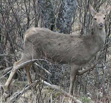 Cervo a Ussolo (Prazzo)