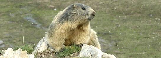 Marmotta alla Gardetta