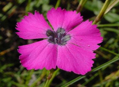 Dianthus negletus