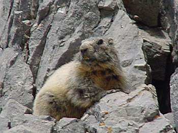 Gardetta: il regno delle marmotte