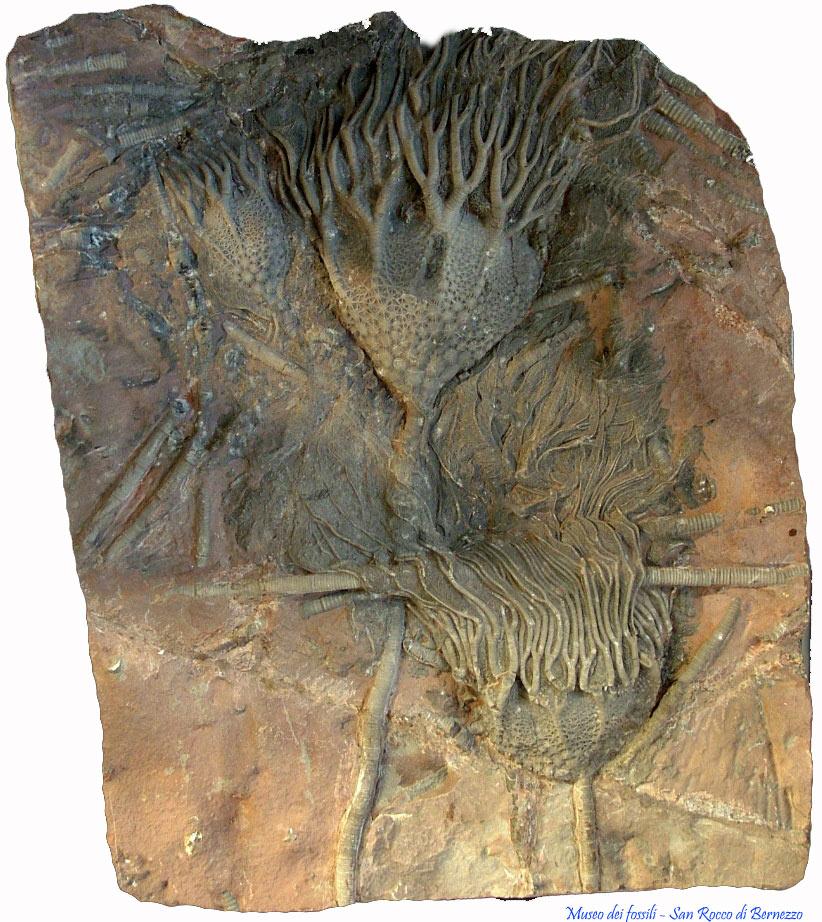 Crinoidi Siluriano