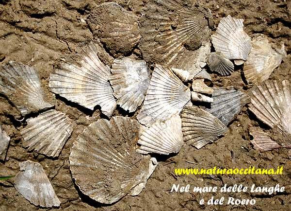 Pettinidi del Pliocene